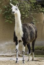 Beautiful Lama Animal In Zoo, ...