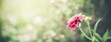 Summer Nature Background With Pink Flower At Bokeh . Flowers Garden Template Or Banner