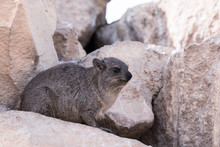 A Rock Hyrax, Otherwise Known ...