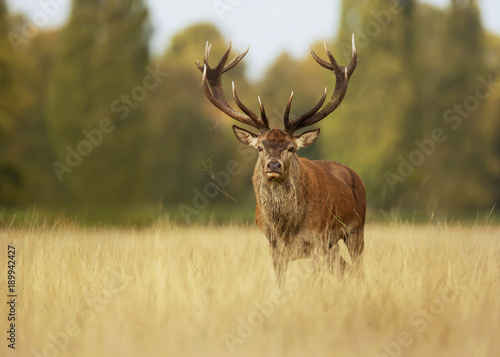 Red deer stag in autumn, England