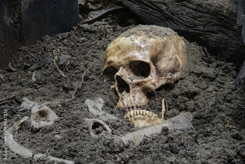 Fototapeta Skulls and skeletons bones were unearthed from the graves by shovels in the horrible cemetery in dim light