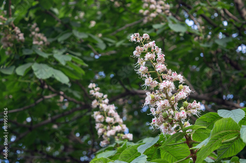 Deurstickers Waterlelies Blooming aesculus hippocastanum, white flower of horse-chestnut in spring park, ornamental garden tree and source of aescin, used as treatment for chronic venous insufficiency