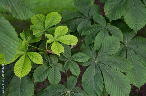 Photo Foliage of horse-chestnut (aesculus hippocastanum), ornamental garden tree and m