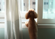 Poodle Dog Staring Outsideover...