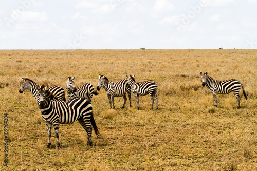 Fototapety, obrazy: Zebra species of African equids (horse family) united by their distinctive black and white striped coats in different patterns, unique to each individual in Serengeti, Tanzania