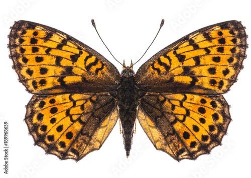 Small pearl-bordered fritillary butterfly isolated