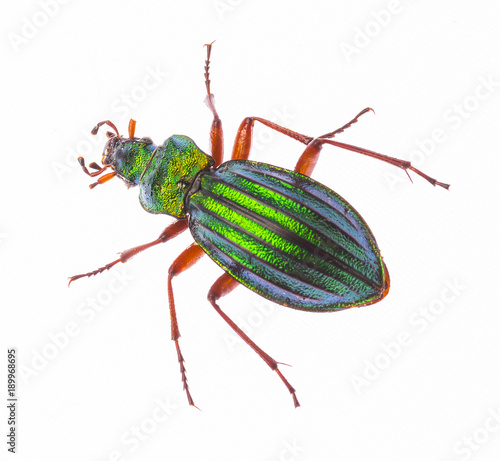 Golden ground beetle Carabus Auronitens isolated on white