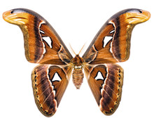 Attacus Atlas Giant Moth Of Indonesia