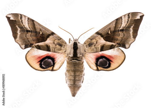 Eyed hawk-moth isolated on white