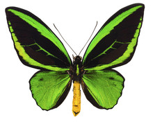 Ornithoptera Priamus Tropical Butterfly Isolated