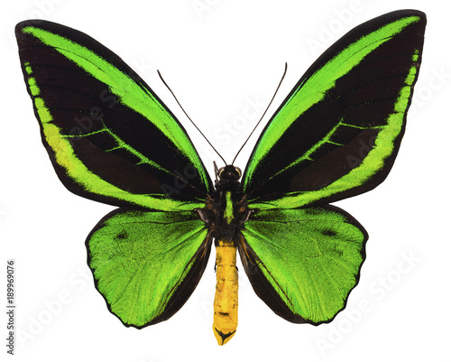 Ornithoptera priamus tropical butterfly isolated Wallpaper Mural