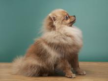 Сute Funny Spitz Dog Sitting ...