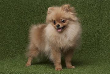 Сute śmieszna spitz psa pozycja w trawy tle