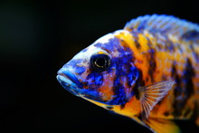 African Cichlid Fish Colorful ...