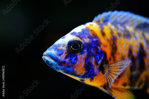 African cichlid fish colorful aquarium Fototapeta