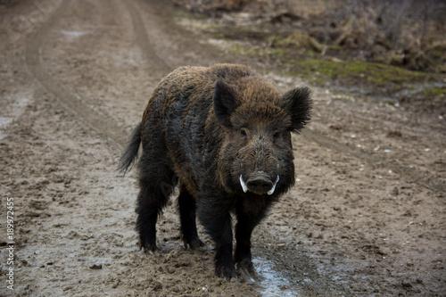 Wildschwein Keiler