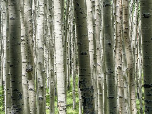 Deurstickers Berkbosje Aspen forest, Flagstaff Arizona