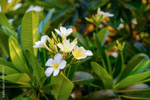 Beautiful Group Of White Plumeria Flower In Polonnaruwa Sri Lanka