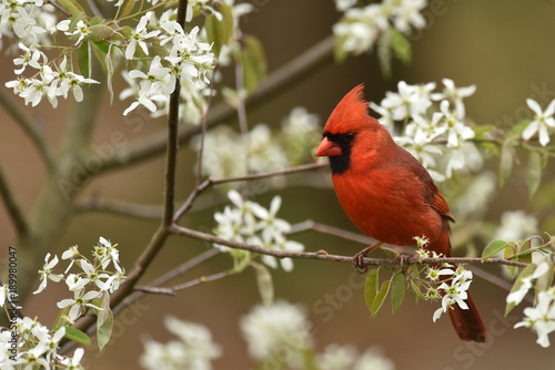Foto op Canvas Vogel Red Male Cardinal in spring flowers