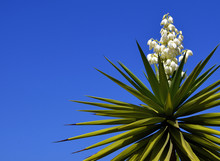 Blooming Yucca Plant On A Blue...