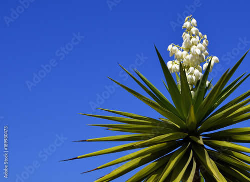 Blooming Yucca plant on a blue sky background Canvas Print