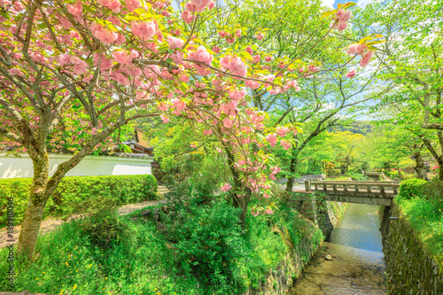 Scenic landscape of pink cherry blossom trees along Philosopher's walk during Sakura in sping season. The Path is a famous pedestrian path in Higashiyama district, Kyoto, Japan.