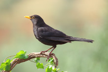 Common Blackbird Perched On A Branch With Ivy