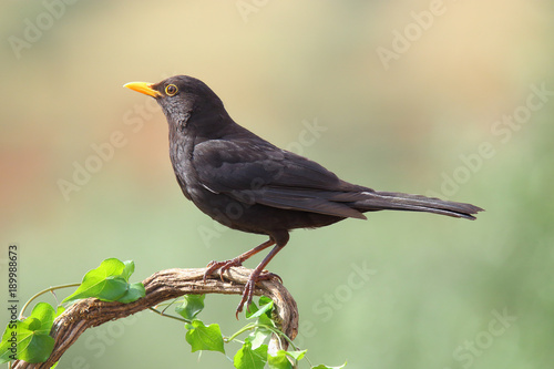 Common blackbird perched on a branch with ivy Wallpaper Mural