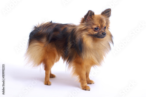 A Small Pomeranian Dog Stands In Profile On A White Background Buy
