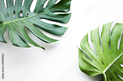 Real monstera leaves set on white background.Tropical,botanical nature concepts ideas.flat lay