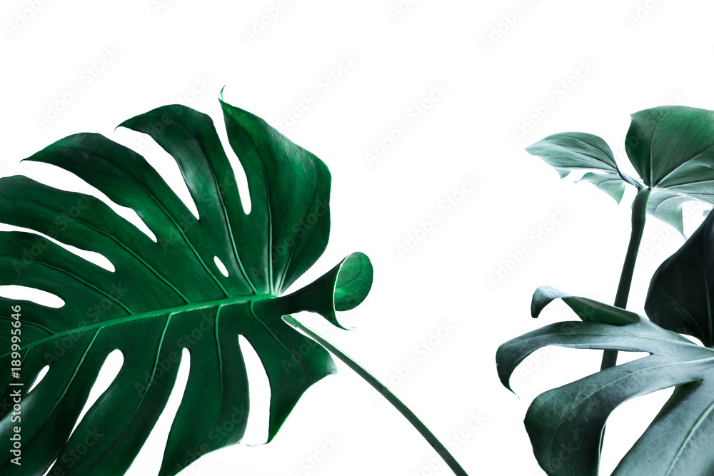 Fototapety, obrazy: Real monstera leaves decorating for composition design.Tropical,botanical nature concepts
