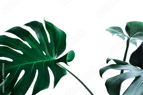 Real monstera leaves decorating for composition design Wallpaper Mural