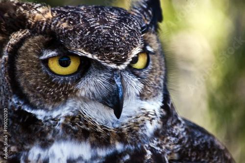 Naklejki Sowa   great-horned-owl