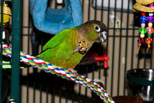 Green Cheek Conure Eating