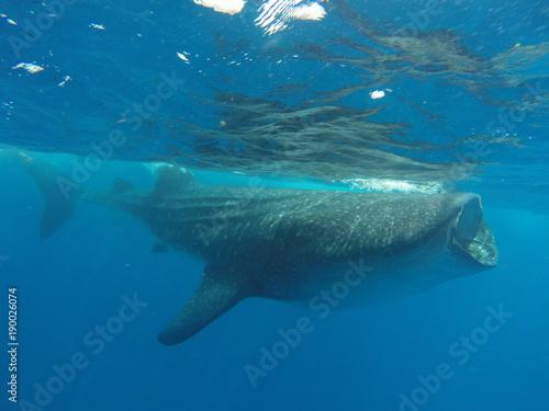 In de dag Dolfijn tiburon ballena