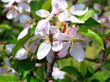 Little Bee Working On An Apple Tree Pinky White Flowers Closeup, Another In The Green Leafy And Blooming Background
