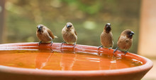 Scaly-breasted Munia Bird Bath...