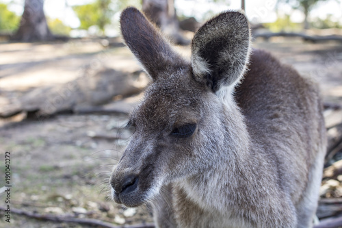 Fotografie, Obraz  kangaroo