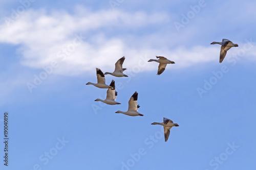 Birds snow geese migrate high above the Salton Sea in the California desert