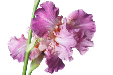 Lilac iris flower isolated on white background.