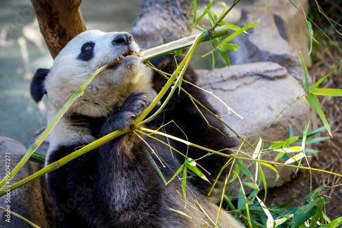 Valokuva  Giant Panda eating bamboo