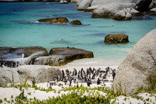 African Penguin Colony (Spheni...