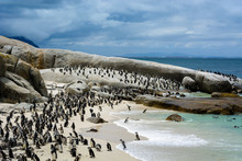 African Penguin Colony (Spheni...