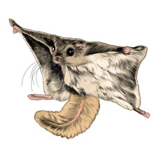 The Flying Squirrel Sketch Vec...