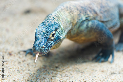 Close-up of a Komodo dragon with focus on eyes