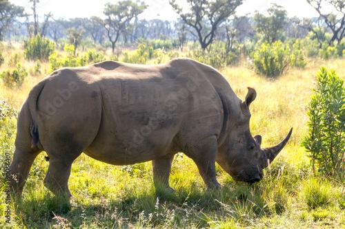 Foto op Aluminium Stierenvechten Grazing rhino