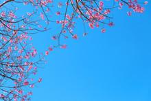 Beautiful Cherry Blossom In Spring, Sakura Tree Flower With Blue Sky.
