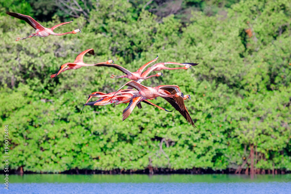Flock of flying pink flamingos over Guanaroca lake, cear Cienfuegos, Cuba