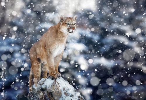 Fotobehang Leeuw Portrait of a cougar, mountain lion, puma, panther, striking a pose on a fallen tree, Winter scene in the woods