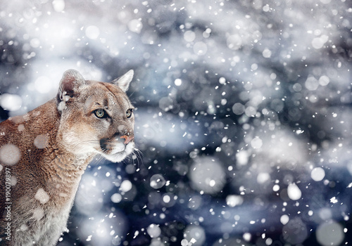 Poster Puma Portrait of a cougar, mountain lion, puma, panther. snowfall, wildlife America